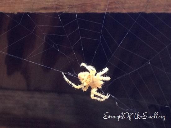 Cat-faced Spider.