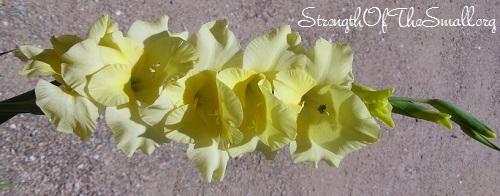 Gladiolus 'Yellow'.