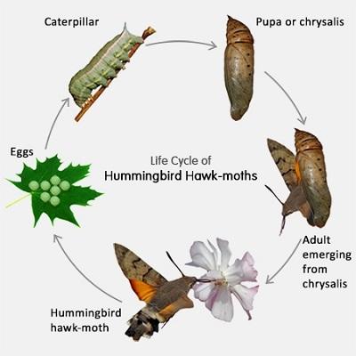 Hummingbird Hawk-Moth Life Cycle.