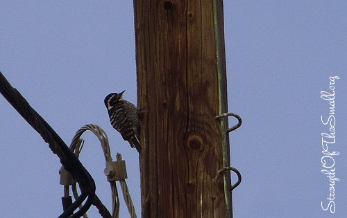 Female Nuttall's Woodpecker.