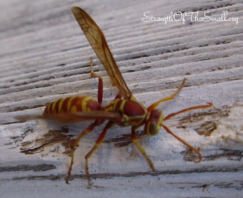 Paper Wasp.