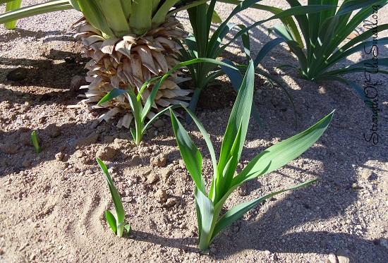 Pendula Yucca.