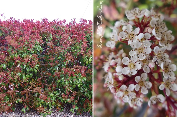 Flowering Photinia Fraseri.