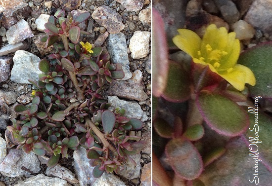 Purslane Plant.