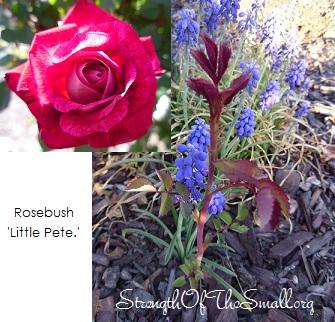 'Little Pete' Rose.