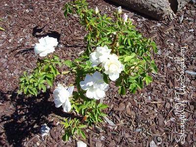 Rose Tree - Iceberg Floribunda